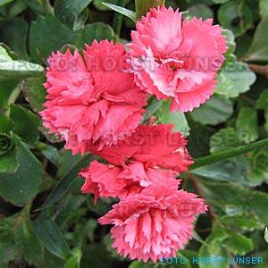 Dianthus caryophyllus winterhart