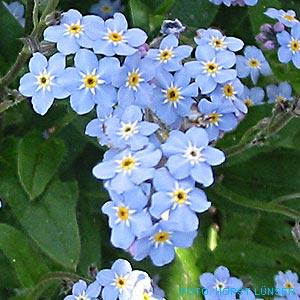 http://www.horst-luenser.de/gartenpflanzen/dateien/vergissmeinnicht2.jpg